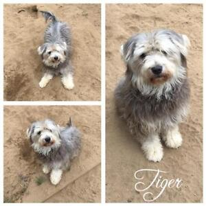 """Young Male Dog - Bearded Collie: """"Tiger"""""""