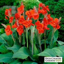 Canna plants Huntfield Heights Morphett Vale Area Preview