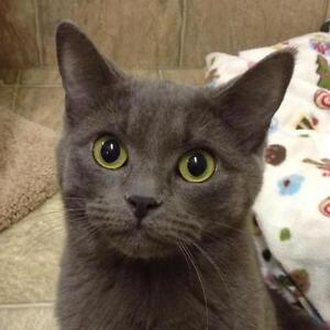 "Adult Female Cat - Domestic Short Hair-gray: ""Coco"""