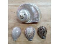 4 Beautiful Conch Shell £ 20. Free P&P