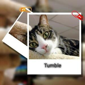 "Adult Female Cat - Tabby - black: ""Tumble"" London Ontario image 2"