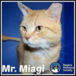 "Adult Male Cat - Domestic Short Hair: ""Mr. Miagi*"""