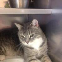 """Adult Male Cat - Tabby - Grey: """"Licorice"""""""
