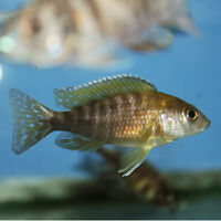 Looking for  female peacock cichlids.