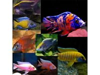 5x Malawi Peacocks aulonocara for sale - lovely colours!