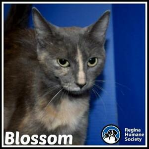 "Young Female Cat - Domestic Medium Hair: ""Blossom*"""