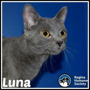 "Young Female Cat - Domestic Short Hair: ""Luna"""