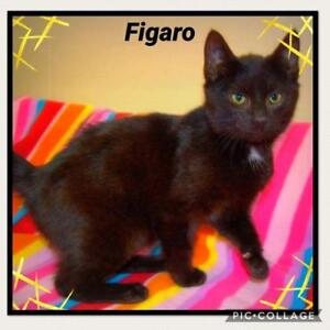 "Young Male Cat - Domestic Short Hair: ""Figaro"""