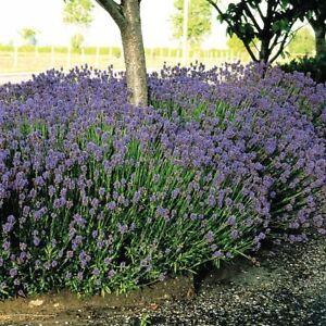 20 Lavender Hidcote 9cm pot - 20 plants herbs hedging border plants