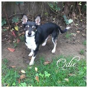 "Adult Male Dog - Terrier-Chihuahua: ""Odie"""