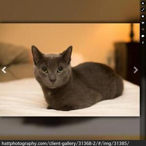 """Young Male Cat - Domestic Short Hair-gray: """"GREY GOOSE..."""" London Ontario image 2"""