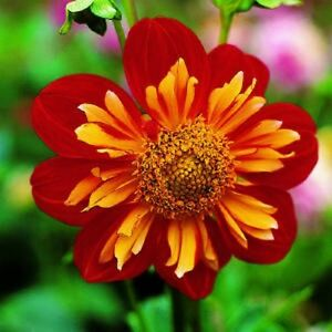Outdoor Living  gt  Flowers  Trees  amp  Plants  gt  Flower Seeds  gt  PerennialsPaprika Flower