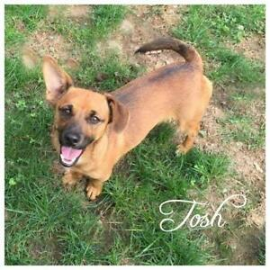 "Young Male Dog - Dachshund: ""Tosh"""