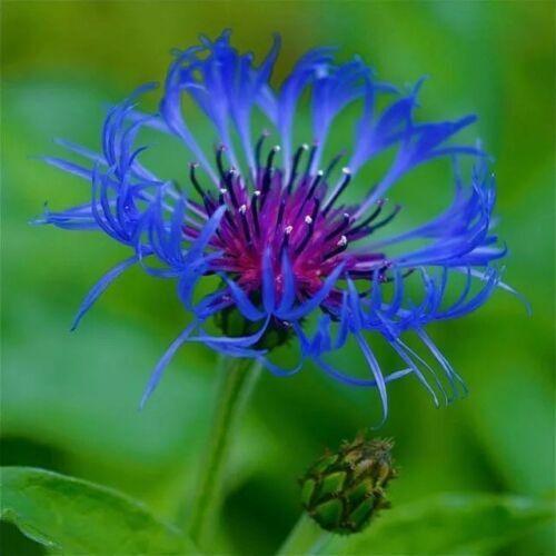 bee balm, spotted, 50 seeds, RARE PERENNIAL! blue flower.