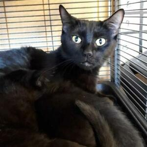 "Young Female Cat - Domestic Short Hair: ""Padme"""