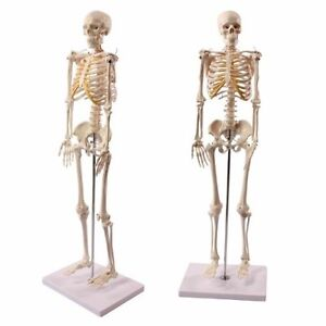Wellden Mini Anatomical Skeleton