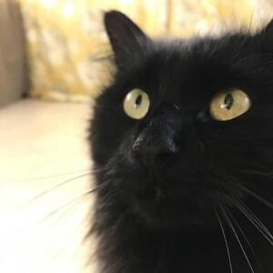 "Young Male Cat - Domestic Long Hair-black: ""Jarlath"""