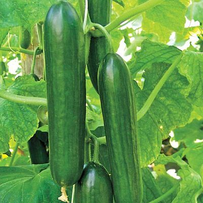 VEGETABLE  CUCUMBER  BETH ALPHA   60 FINEST SEEDS
