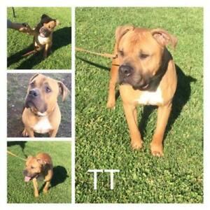 Boxer / American Pit Bull Terrier / Mixed (short coat)