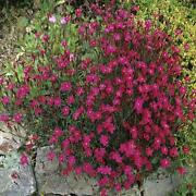 Dianthus Seeds