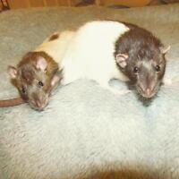 "Young Male Small & Furry - Rat: ""Orion & Dancer"""