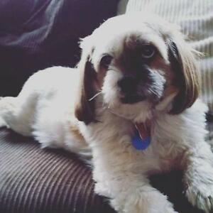 "Senior Male Dog - Shih Tzu: ""Charlie - pending"""