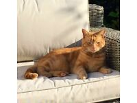 MISSING CAT - Ginger Male