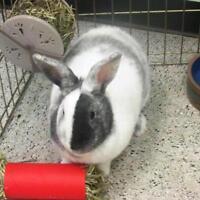 "Young Male Rabbit - Harlequin-New Zealand: ""Mocha"""