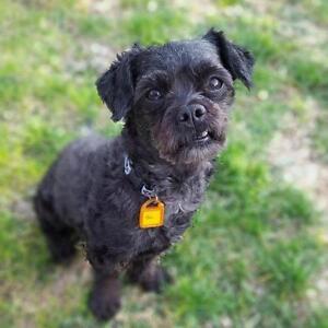 "Adult Male Dog - Shih Tzu-Poodle: ""Bob-Pending Adoption"""