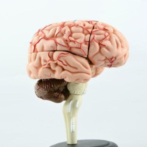Human Brain Collectibles Ebay