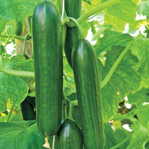 Ashley Long Cucumber Seeds 50+ Ct Vegetable HEIRLOOM NON-GMO USA FREE SHIPPING
