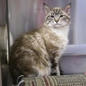 "Young Male Cat - Domestic Medium Hair: ""Barney"""