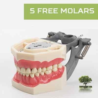 Dental Typodont Model Fg3ag3 Works With Frasaco Brand Teeth 5 Free Molars