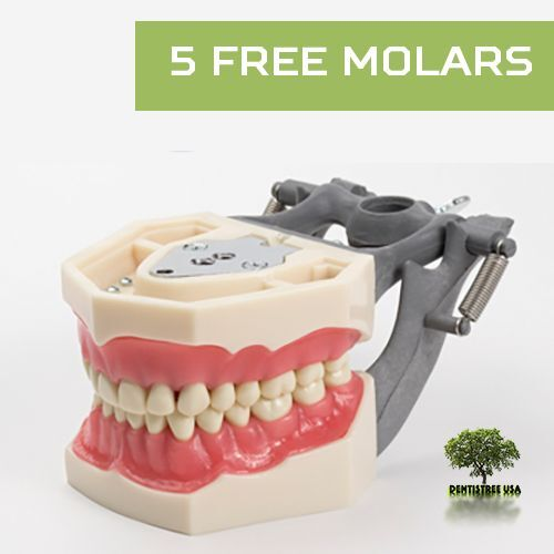Dental Typodont Model FG3/AG3 works with Frasaco brand teeth (5 free molars)