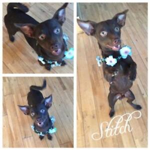 "Young Male Dog - Chihuahua-Terrier: ""Stitch"""