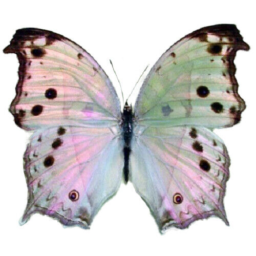 ONE REAL BUTTERFLY PINK PURPLE SALAMIS PARHASSUS AFRICA UNMOUNTED WINGS CLOSED