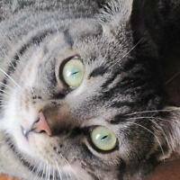 "Young Male Cat - Domestic Short Hair-Tabby - Brown: ""Maximus"""