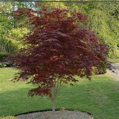 2   Red Japanese Maple Seedling Trees   Average 2 3 Foot Tall Now  Free S H