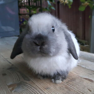 Holland Lop Rabbits from $100-$180