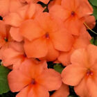Impatiens Flowering Annual & Biennials Flower & Plant Seeds