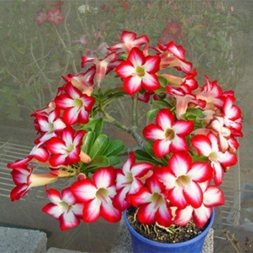 Desert Rose Plant Ebay