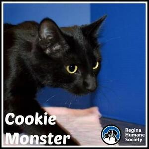 "Young Male Cat - Domestic Short Hair: ""Cookie Monster"""