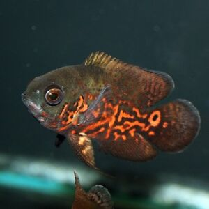 WANTED young small Oscar cichlids Floraville Lake Macquarie Area Preview