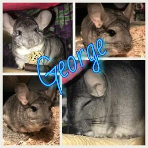 "Adult Male Small & Furry - Chinchilla: ""George"""