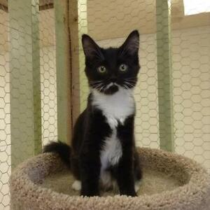 Young Female  - Domestic Medium Hair-black and white