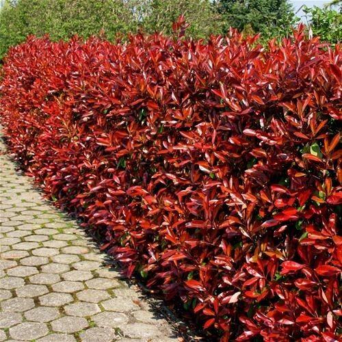25 photinia red robin hedging plants 20 30cm bushy evergreen hedge shrubs ebay