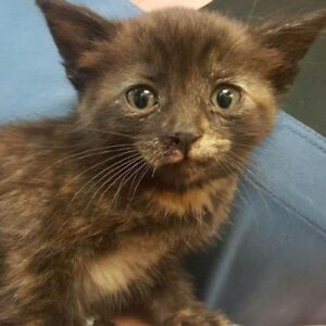 Baby Female  - Domestic Short Hair-Tortoiseshell