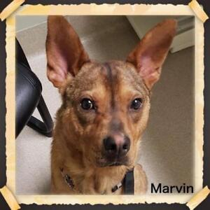 "Young Male Dog - Shepherd-Cattle Dog: ""Marvin"""