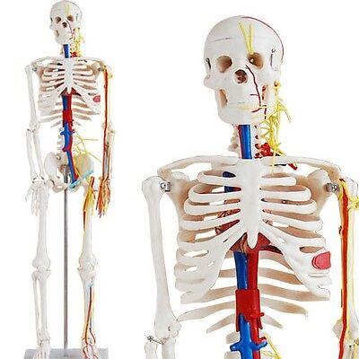 Anatomiemodell: Skelett Modell mit Blutgefäßen+Gehirn