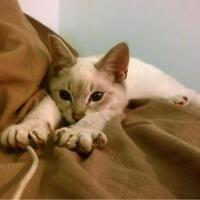"""Baby Female Cat - Domestic Short Hair-Siamese: """"Lucy"""""""